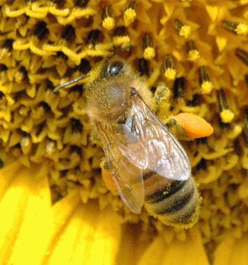 Honey Bee and Pollen - Colorado Beekeepers Association