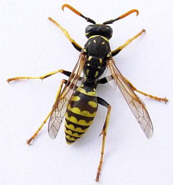 Wasp - Colorado Beekeepers Association